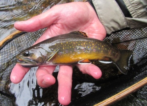 If there is a fish native to the eastern US that's prettier than the brook trout, I've yet to see it.