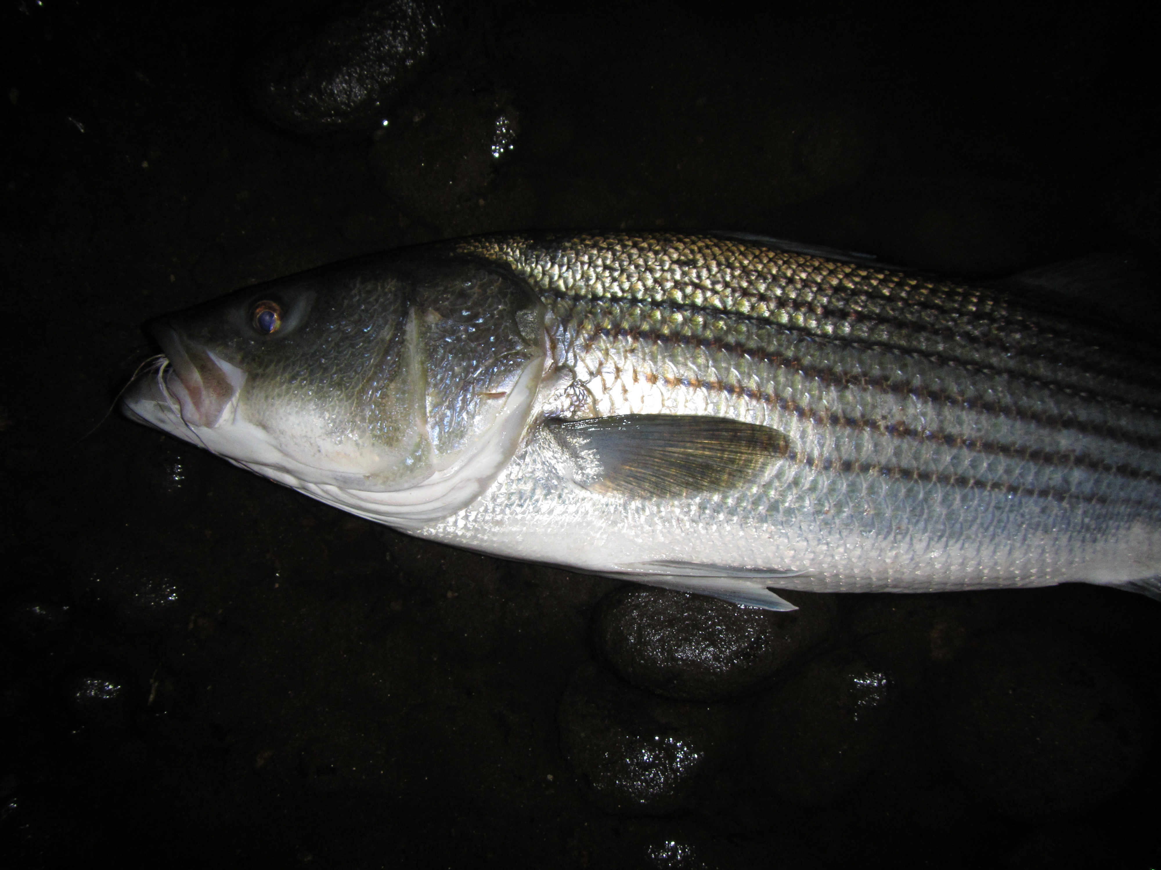 Just completed a new article for the mid atlantic fly for Trout fishing at night