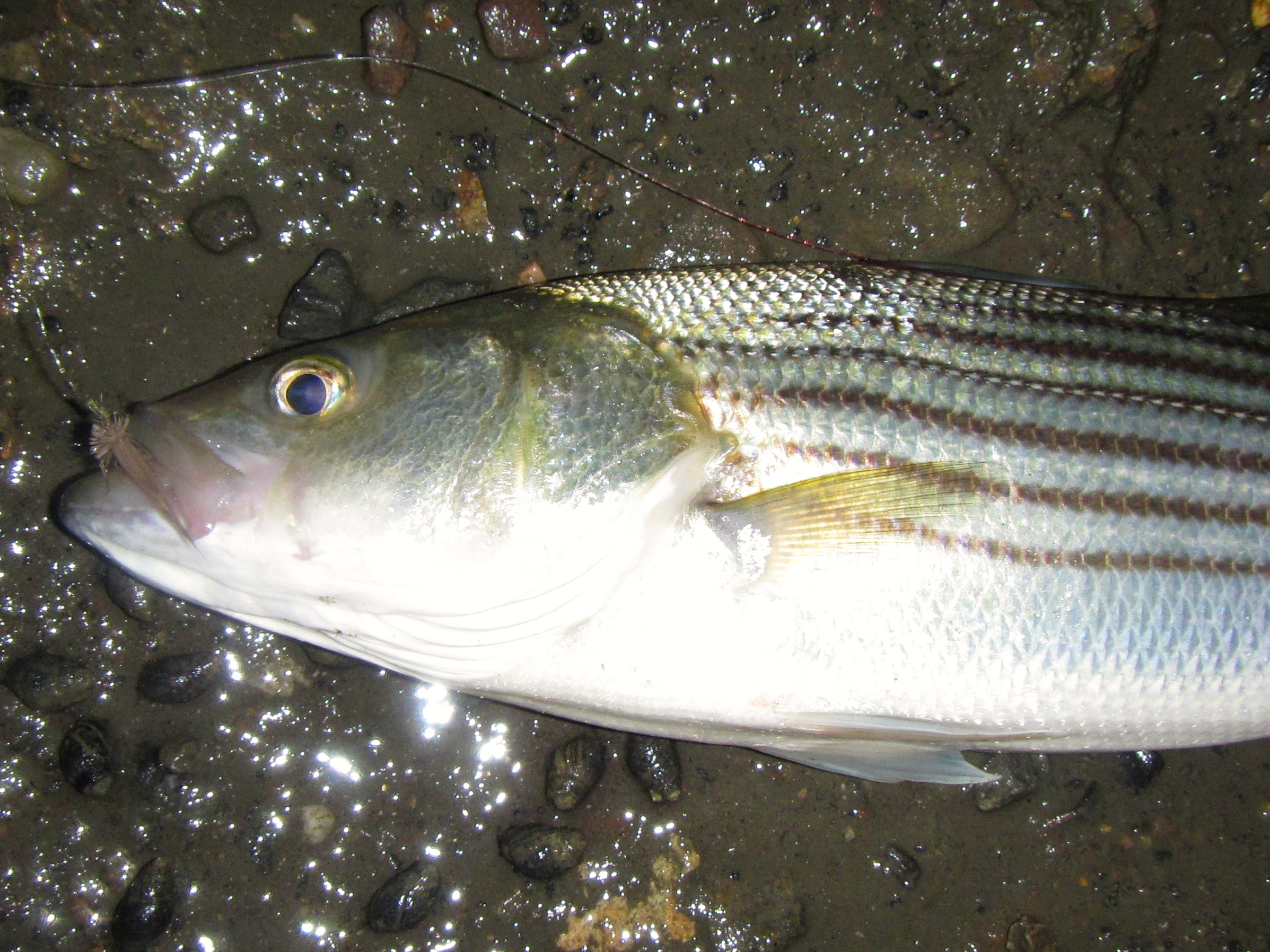 Striped bass drift fishing