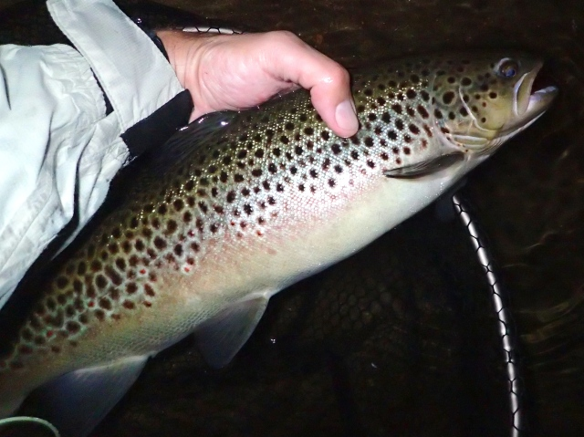 Big wild brown hen 8-2015